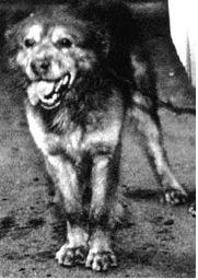 Pavlov'un Köpeğinin Cinsi Neydi? 4